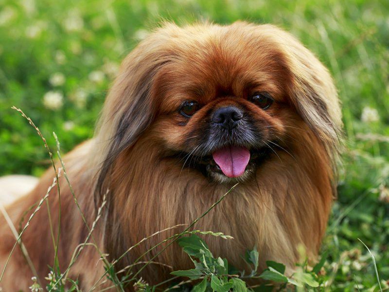 Лучшие породы собак для маленькой квартиры